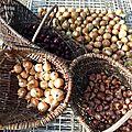 oignons - échalottes www.passionpotager.canalblog.com
