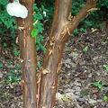 Erable cannelle • Acer griseum • Famille des Sapindaceae