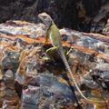 Petriified Forest (RolandB) ; collared lizard