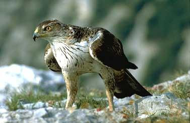 Aigle_de_Bonelli_Photo_de_Max_Gallardo