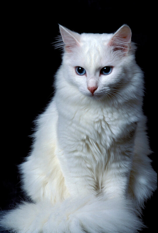 turkish-angora-cats-kittens-1