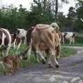 2009 05 25 Kapy qui fait avancer le troupeau de vache