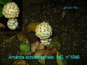 Amanita echinocephala n°1046