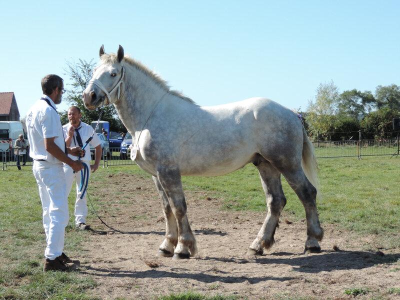 Hercule de Tourville - 21 Septembre 2019 - National Etalons - Samer (62) - 9e (2 ans) - Approuvé pour la Reproduction