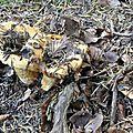 Lactarius scrobiculatus (1)