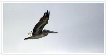 Martinique2010_pelican_001_lg