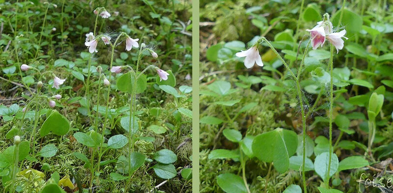 rameaux florifères dressés glanduleux fleurs géminées penchées