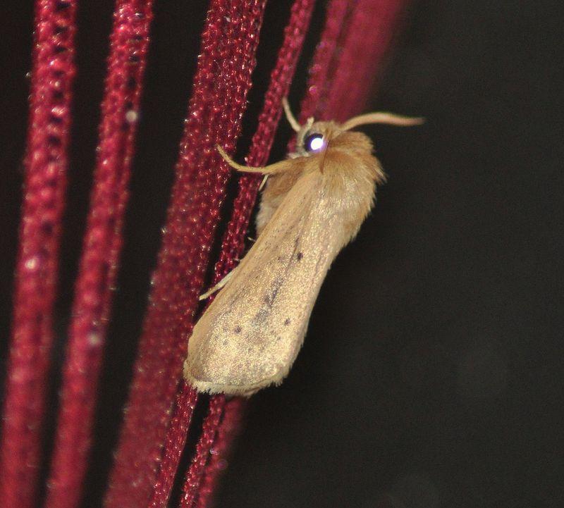 Sesamia nonagrioides (La Nonagrie bétique)