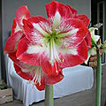 Amaryllis, une collection vivante.