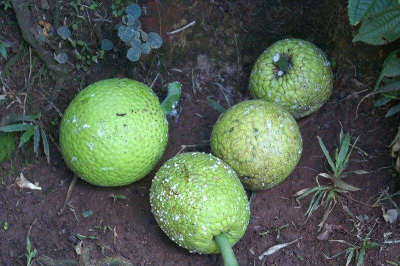 Fruit à pin