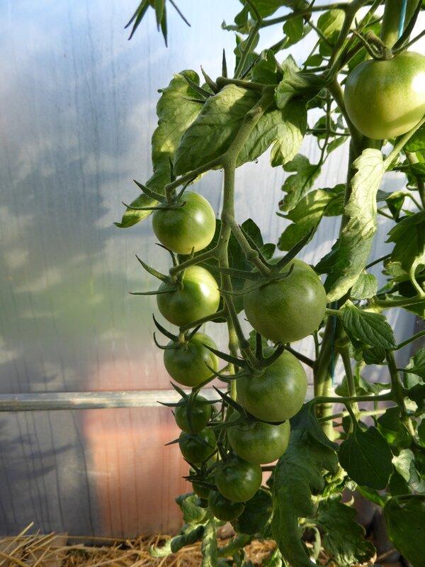 7-tomates et buée (1)