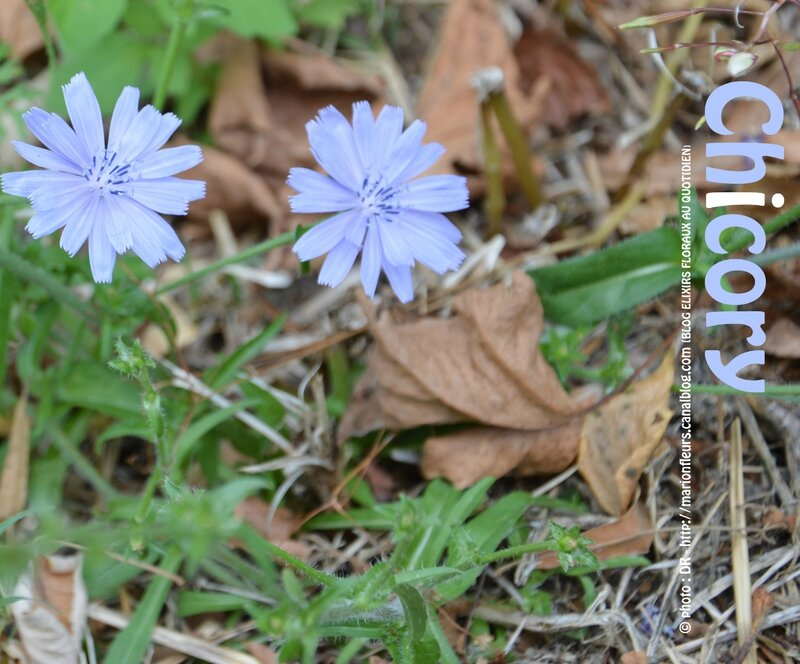 Chicory ; marionfleurs