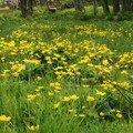 2008 05 02 De nombreuse fleurs de Populages