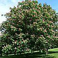 Dans le Parc de Cassan - Marronier à fleurs rouges (plus de 180 ans)