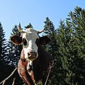 Cordon, randonnée belvédère, vache et sapins (74)