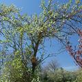 2008 05 07 Un prunier en fleur