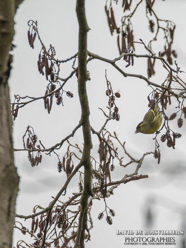 Tarin des aulnes (Spinus spinus - Eurasian Siskin)