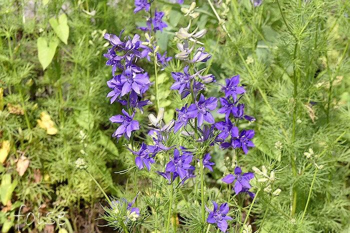 fleurs bleu-violet