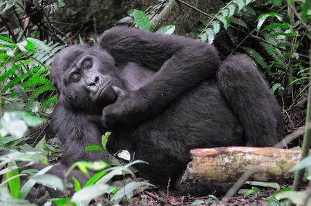 Gorille_de_montagne_m_le__parc_de_Bwindi__Ouganda__4_