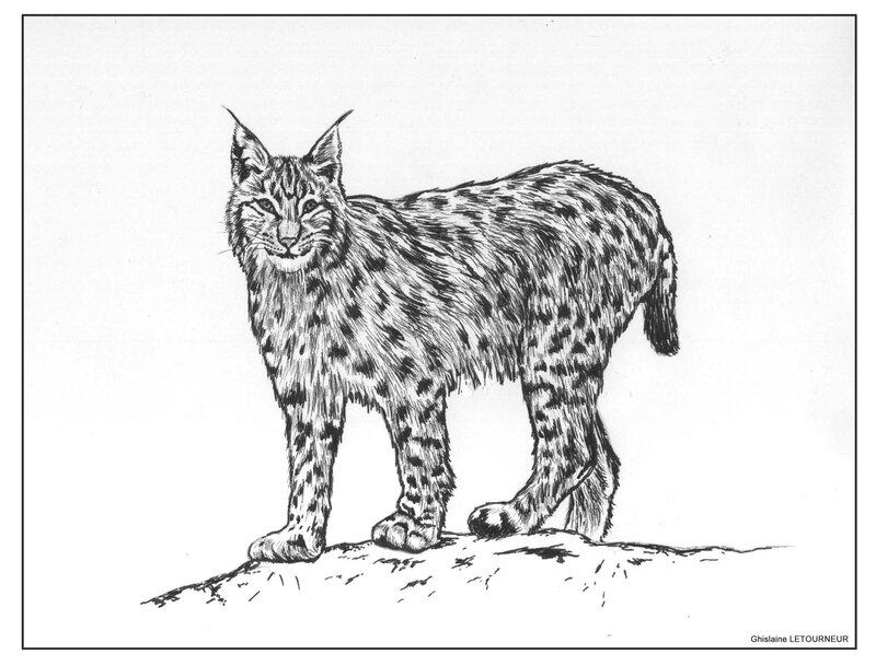 Dessin feutre lynx boréal Ghislaine Letourneur Inspiration photo Patrice Raydelet