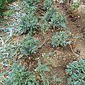 choux brocolis - www.passionpotager.canalblog.com
