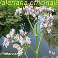 8 Valeriana officinalis