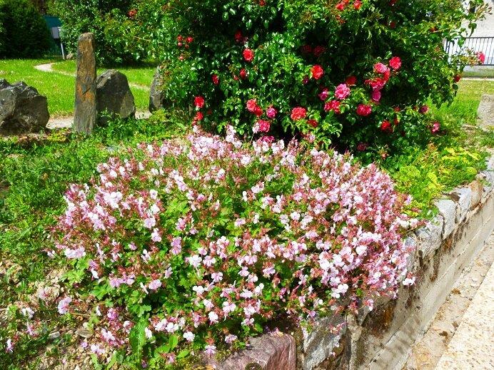 rosier buisson 2014 06 01 & géranium vivace - 15%