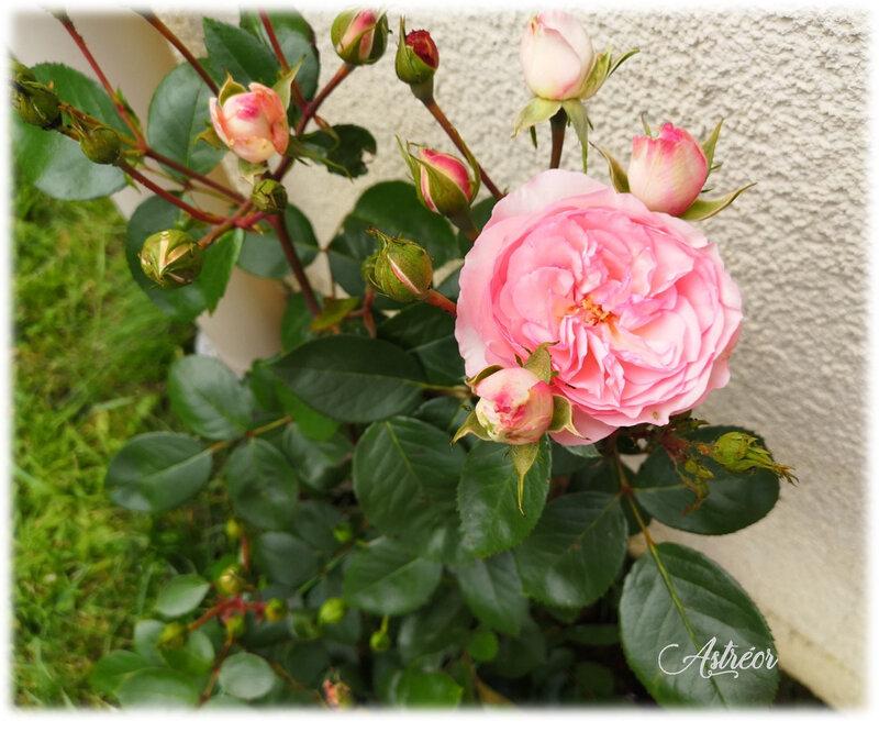 Rosier Eden rose