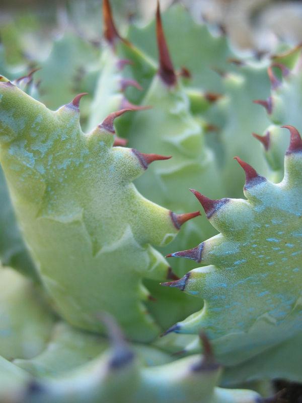 Succulente_Agave_Verschafeltii__potatorum_