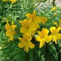2008 07 02 Mes Lis des Incas en fleur pour le premier jour