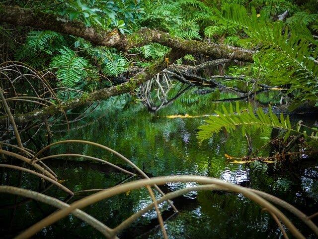 en-france-c-est-la-guyane-qui-compte-le-plus-de-mangroves-70-000-ha