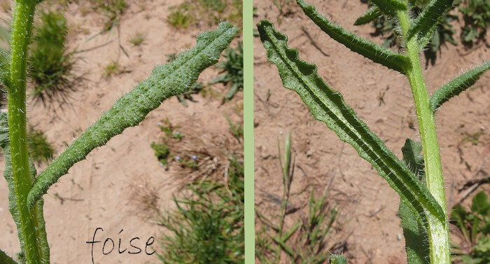 feuilles sessiles sinuées-ondulées oblongues ou lancéolées