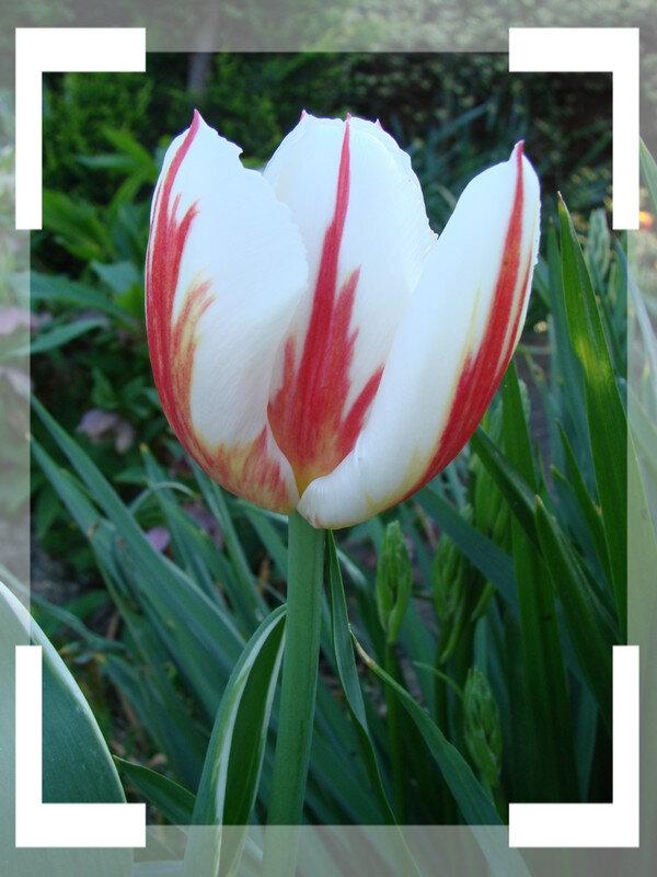tulipes 7